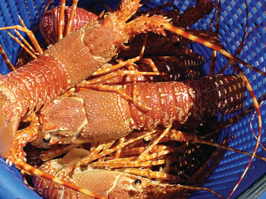 Cape Fish's ethically sourced lobsters, South African lobster fishery facts